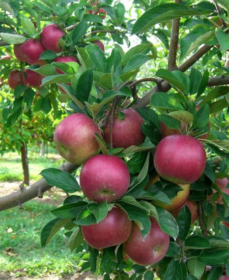 Puiet de Măr Idared, pom fructifer măr cu fructe zemoase, acrisoare, Yurta
