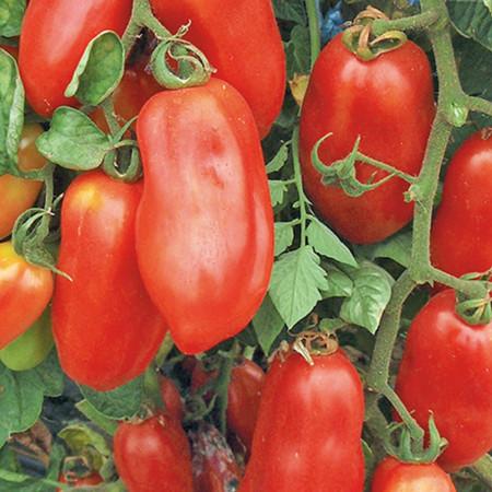 Rosii San Marzano 2 (150 seminte), tomate gustoase, seminte putine, Agrosem