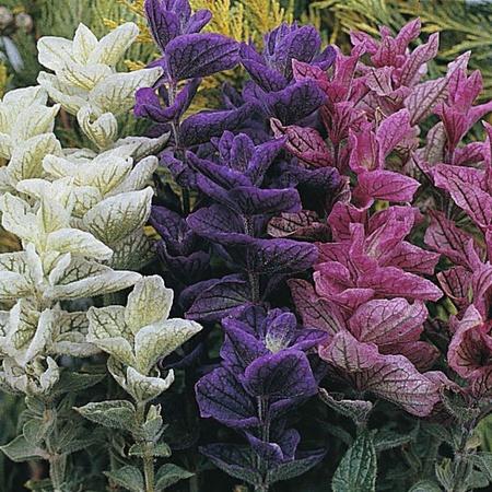 Salvia Tricolor Mixed - Seminte Flori Salvia Tricolor Mixed de la Florian