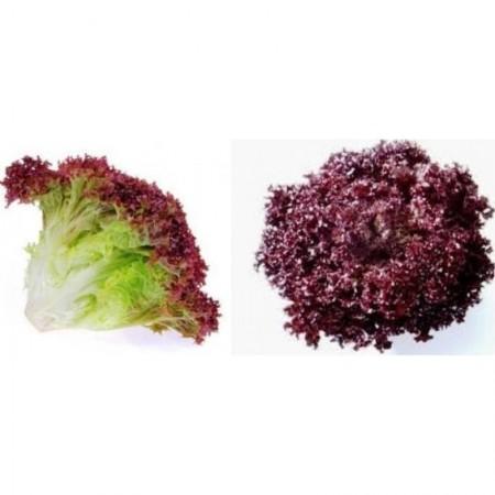 Sanguine - 10 grame - Seminte de salata cu frunza rosie ce se preteaza cultivarii protejate pentru productiile de primavara si toamna de la Clause