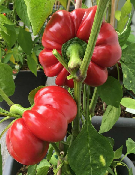 Seminte ardei gogosar Topepo Red (1 kg), soi timpuriu de culoare rosu inchis stralucitor, Hortus Simenti