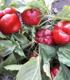 Seminte ardei gras California Supreme (10 gr), Top Harvest