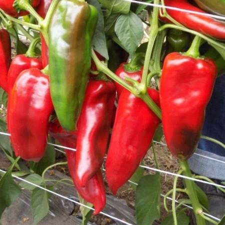 Seminte ardei kapia Kap 140502 F1 (250 seminte), fructe mari, Fito Semillas