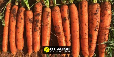 Seminte morcov Hekla (25.000 seminte), semitimpuriu, Clause