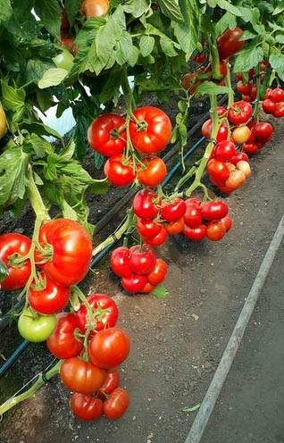 Seminte Rosii Mahitos F1 (100 seminte) de Tomate Nedeterminate Semitimpurii de tip beef de la Rijk Zwaan