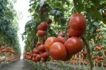 Seminte rosii Matias F1 (100 seminte), nedeterminate, De Ruiter Seeds