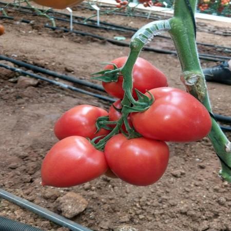 Seminte rosii roz Kongo F1 (250 seminte), nedeterminate tip prunisoara, Clause