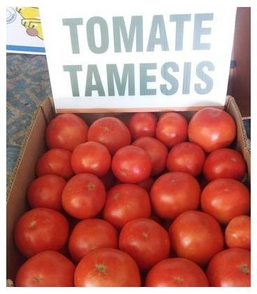 Tamesis F1 - 500 sem - Seminte de rosii nedeterminat leaga bine in conditii de caldura excesiva TSWV de la Nunhems