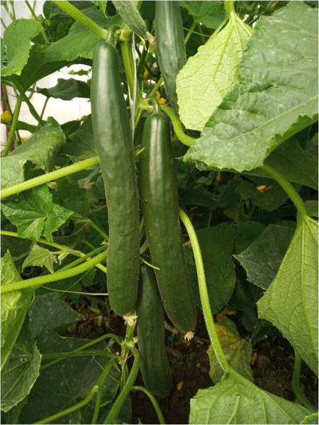 Tereza (30 seminte) de castraveti lungi de vara soi productiv, IZK Bulgaria