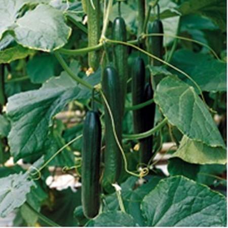 Torreon F1 - 1000 sem - Seminte de castraveti cu fructe de aproximativ 32-36 cm rezistenta la boli si cu productie extrem de buna de la Enza Zaden