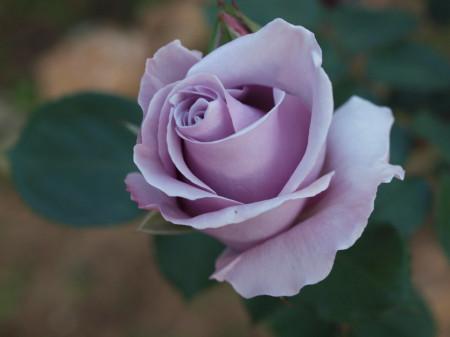 Trandafir Teahybrid Sissi, butasi de trandafiri cu inflorire repetata, cu flori mari de culoare mov, intens parfumate, Yurta