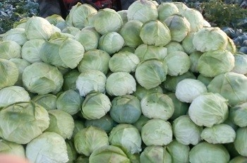 Varza Balcan - Balkan (5 gr) Seminte de Varza Soi bulgaresc, corespunde cu varza de Buzau, Florian