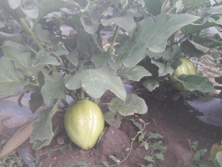 Vinete Verzi (1 gr), Seminte de Vinete Verzi Soi Deosebit de Vanata Verde, Opal