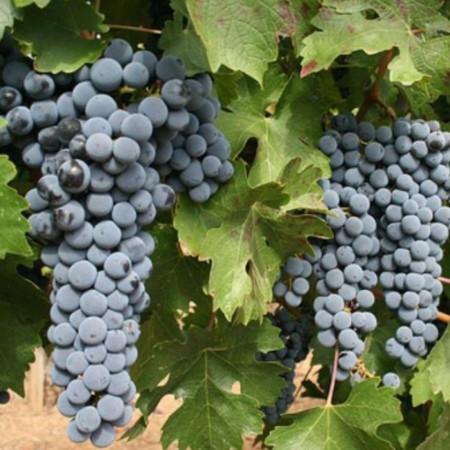 Vita de vie Cabernet Franc, butas de vita de vie soi de vin negru, sec, bogat in tanini, Yurta