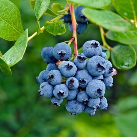Afin Bluejay, butasi de afine soi cu fructe foarte dulci, care nu se scutura la coacere, Yurta