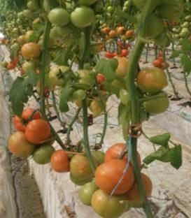 Agilis F1 - 500 sem - Seminte de rosii ce se preteaza cultivarii pe un ciclu scurt de productie atat primavara cat si toamna (sere si solarii) cu fructe mari ferme si foarte netede cu gust extrem de placut de culoare rosu aprins de la Enza Zaden