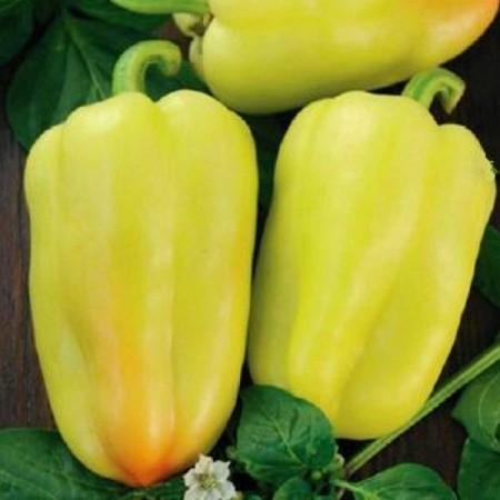 Amy - 10 gr - Seminte de ardei gras cu fructe piramidale de culoare galben crem foarte atractive pentru vanzare ce se remarca prin randamentul echilibrat si starea sa buna de sanatate pe tot parcursul perioadei de vegetatie de la Semo Cehia