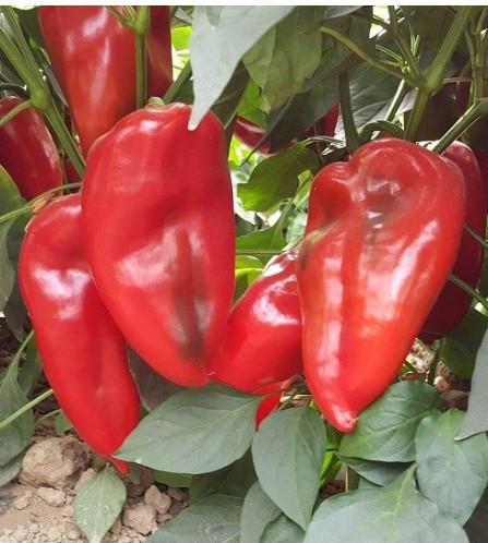 Ardei Capia Minunea Palanacko (Palanacko Cudo) - 10 gr - seminte ardei capia fructe foarte mari