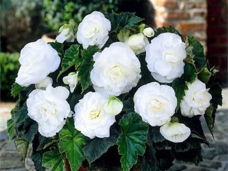 Begonie Double White (3 bulbi), floare mare dubla, culoare alb, bulbi de flori