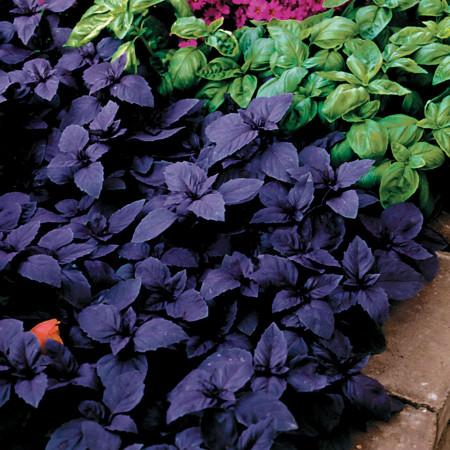 Busuioc Rosu Dark (650 seminte), Seminte de Busuioc Rosu Violet Mov, de la Opal