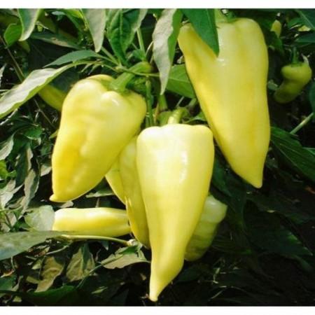 Campona F1 - 250 sem - Seminte de ardei conic dulce cu crestere continua ce poate fi cultivat in sistem protejat in orice perioada a anului atat in sere sau solarii incalzite cat si neincalzite de la Duna-R