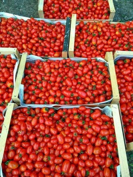 Cherry Mila (1000 seminte) Tomate Cherry in forma de prunisoare, Geosem Bulgaria