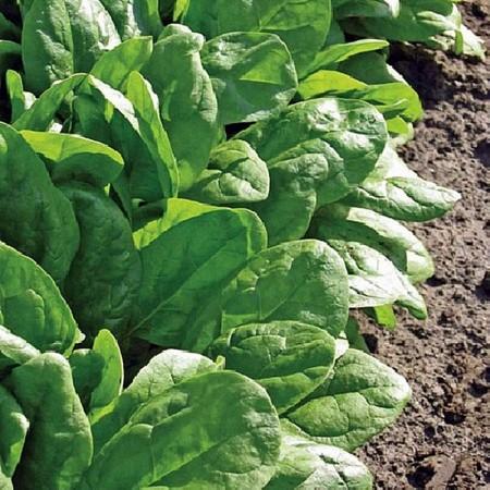 Clipper F1 - 500 gr - Seminte de spanac cu frunze groase de culoare verde-inchis si forma ovala ce prezinta toleranta foarte buna la frig fiind si foarte productiv de la Sakata