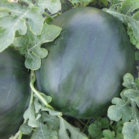 CRX 10041 F1 - 500 sem - Seminte de pepene verde tip Sugar Baby cu fructe dulci si seminte putine buna rezistenta la crapare si transport de la Cora Seeds