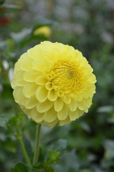Dalie Golden Torch (1 bulb), dalie cu flori perfect rotunde, de culoare galben luminos, bulbi de flori