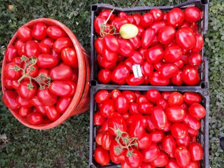 Darsirius (1500 seminte) Seminte de rosii semitimpurii determinate romanesti de la SCDL Buzau