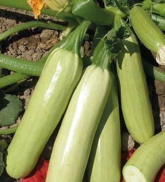 Dovlecei Izobilna (1 kg) seminte de sovlecei soi foarte productiv de la Florian