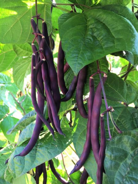 Fasole urcatoare violet Trionfo Violetto (30 seminte) de fasole urcatoare