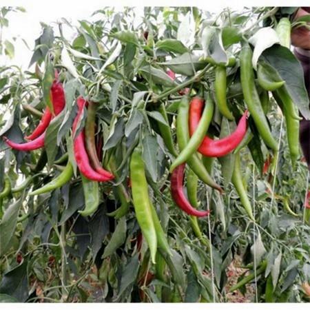 Fogaras F1 - 1000 sem - Seminte de ardei iute ce se caracterizeaza printr-o productivitate foarte ridicata si se poate planta pe tot parcursul anului de la Duna-R