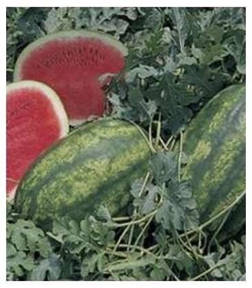 Lady F1 - 500 sem - Seminte de pepene verde timpuriu oval 10-13 kg productii mari de la Nunhems