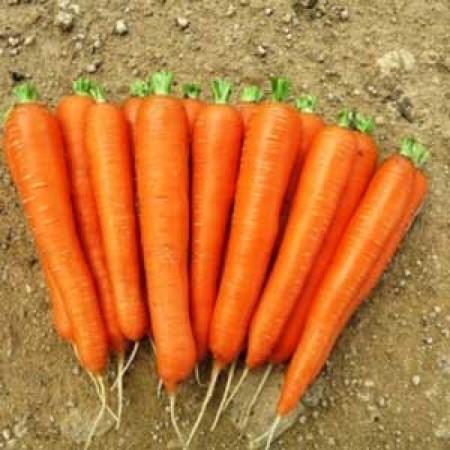 Laguna F1 - 25.000 sem - Seminte de morcovi cu foliaj puternic si pastrare indelungata de la Nunhems