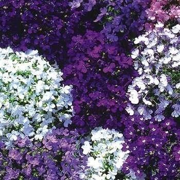 Lobelia Mix - Seminte Flori Lobelia Planta Anuala de la Florian