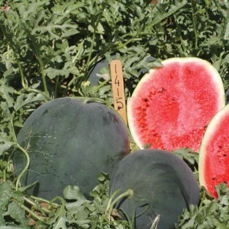 Magia Negra F1 - 500 sem - Seminte de pepene verde tip Sugar Baby cu o greutate medie de 7-9 kg avand coaja de culoare verde inchis spre negru iar pulpa de culoare rosie cu samburi mici de la United Genetics