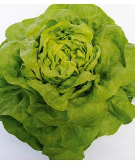 Malis - 5000 sem - Seminte de salata ce este recomandata pentru culturile de primavara si toamna oferind rezultate extrem de bune si constante de la Bejo