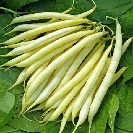 Maxidor (200 grame) fasole pitica galbena, soi timpuriu, toleranta la boli, Agrosem