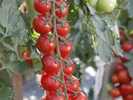 Minoprio F1 - 250 sem - Seminte de rosii cu fructe rotunde de culoare rosu intens si rezistenta la crapare de la Clause