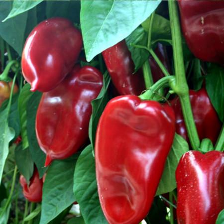Misina F1 (10.000 seminte) Seminte de ardei kapia (tip ureche de elefant) timpurietate medie ce se remarca printr-o productivitate foarte mare cu fructe carnoase, mipSeeds Serbia