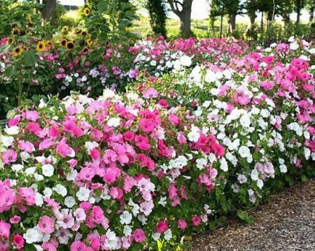 Nalba Lavatera Trimestris Mix (200 seminte) Culori de Flori Japoneze Mix, Laktofol