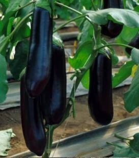 Nite Lady F1 - 500 sem - Seminte de vinete cu fructe ce ating greutate medie de 250-300 grame si prezinta dezvoltare lenta a semintelor fapt ce determina o perioada lunga de recoltare si pastrare de la United Genetics