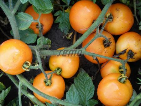 ORANGE seminte tomate (10000 sem) soi tomate de camp timpurii, portocalii, mari, rotunde, planta viguroasa si productiva, Semo Cehia