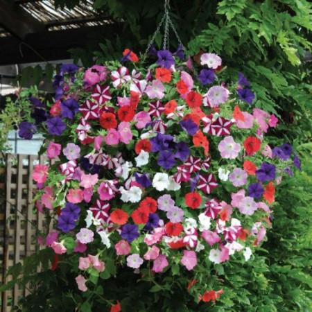 Petunie grandiflora mix F2 diversitate mare de culori, Agrosem