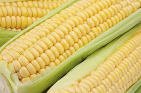 Porumb dulce Gucio F1 (100 gr) seminte de porumb extrem de dulce, Soi Timpuriu, lungime stiulete 23 - 25 cm