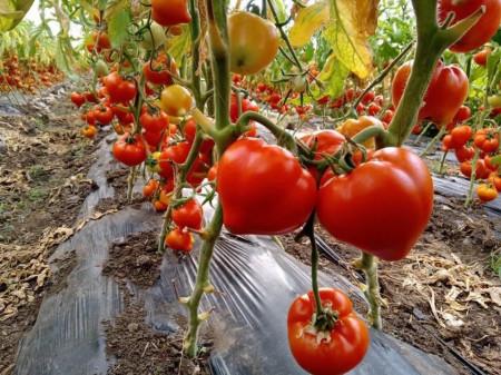 Prekos F1 (250 seminte), tomate extratimpurii semideterminate Geosem Bulgaria