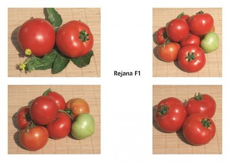 Reyana F1 seminte rosii (2500 seminte), nedeterminate semitimipurii, Geosem Bulgaria