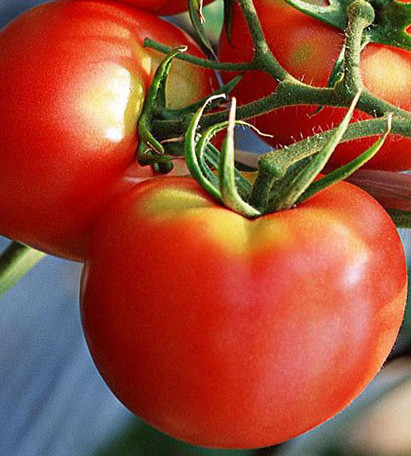 Rosii Buzau 22 (1 kg), seminte de tomate soi viguros crestere determinata, Agrosem