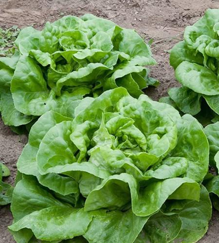 Salata Attraction (2500 seminte) de salata soi timpuriu, marime meide, Agrosem